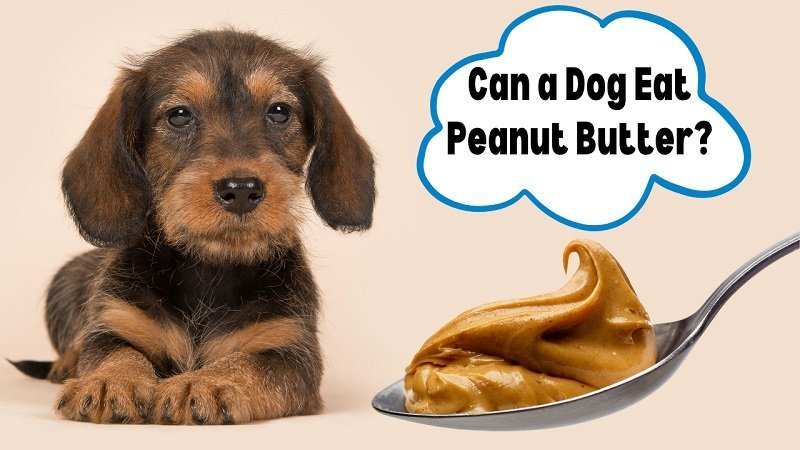 can a dog eat peanut butter