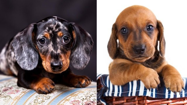 dachshund puppy potty training