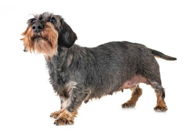 health issues in dachshunds