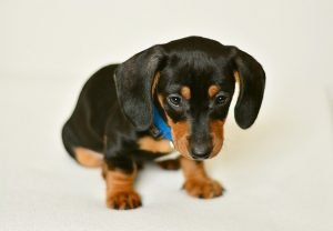 how to care for a dachshund puppy