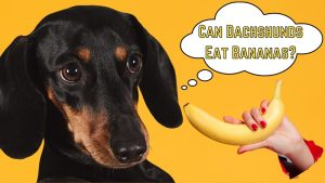can dachshunds eat bananas