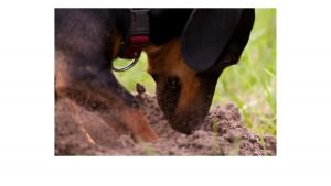 why dachshunds dig